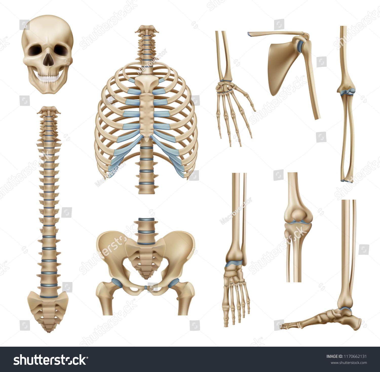 Realistic Human Skeleton Parts Set Skull Stock Vektorgrafik