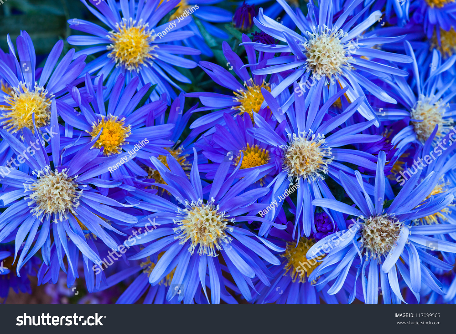 Group Blue Flowers Yellow Centers Stock Photo Edit Now 117099565