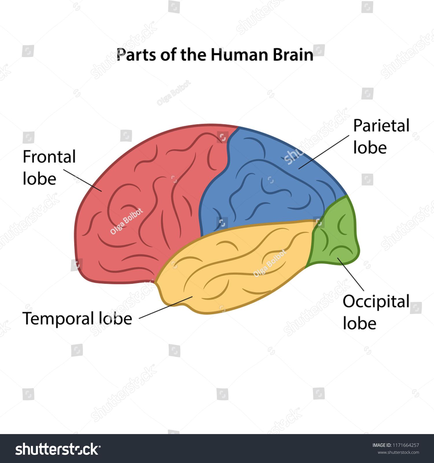 Parts Human Brain Vector Illustration Stock Vector Royalty Free