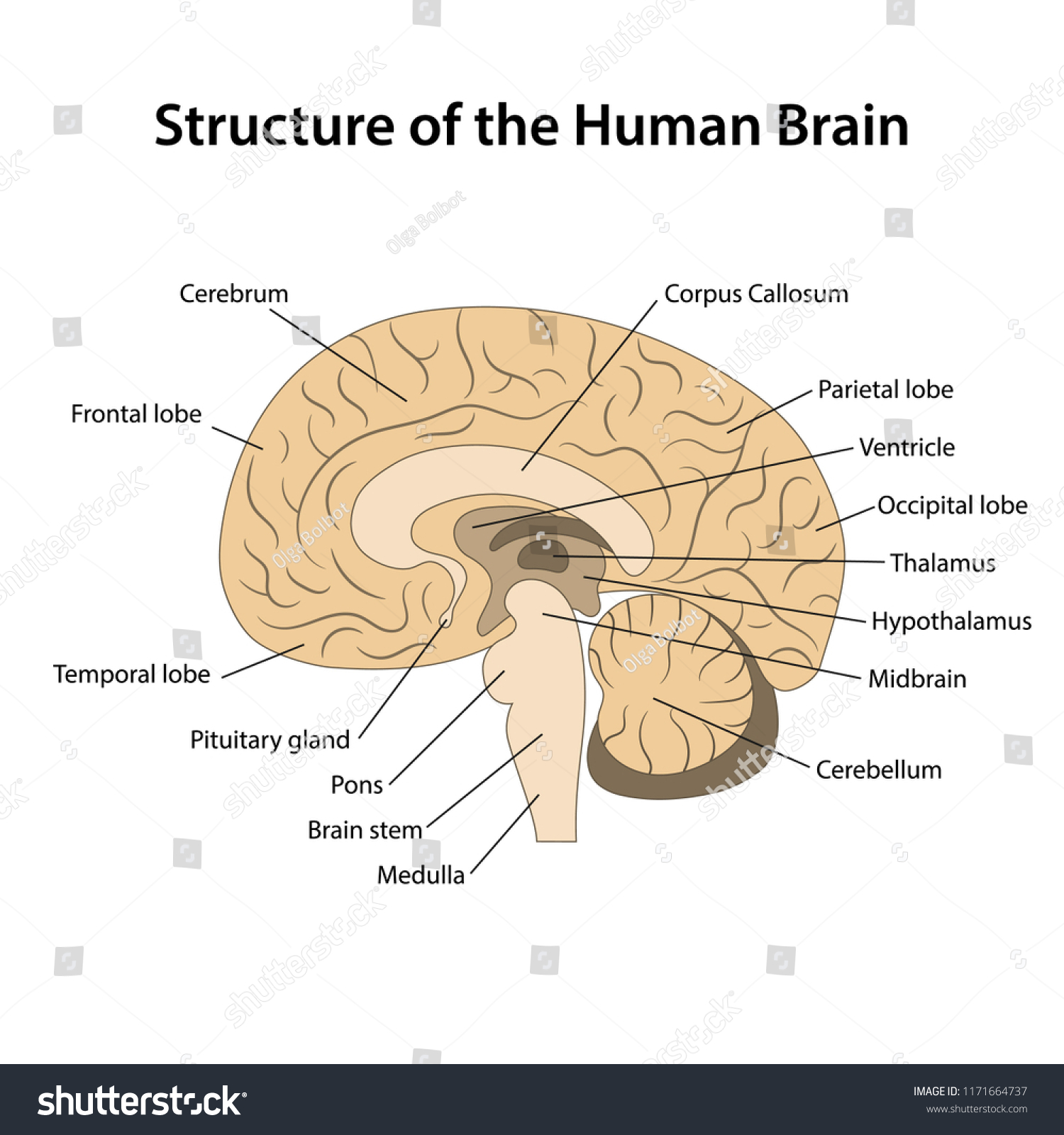 Structure Human Brain Main Parts Labeled Stock Vector Royalty Free