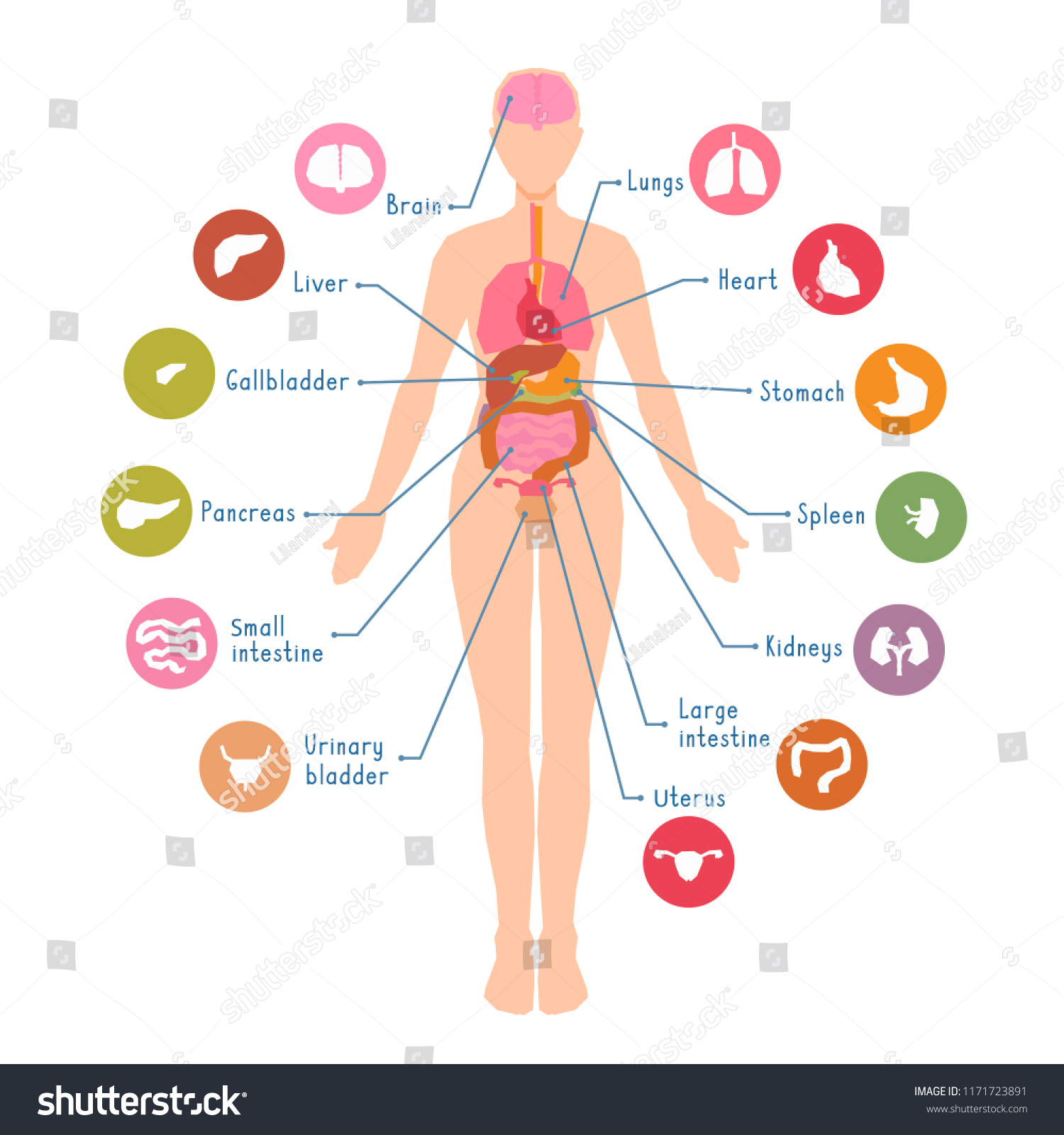 Diagram Major Human Body Internal Organs Stock Vector Royalty Free