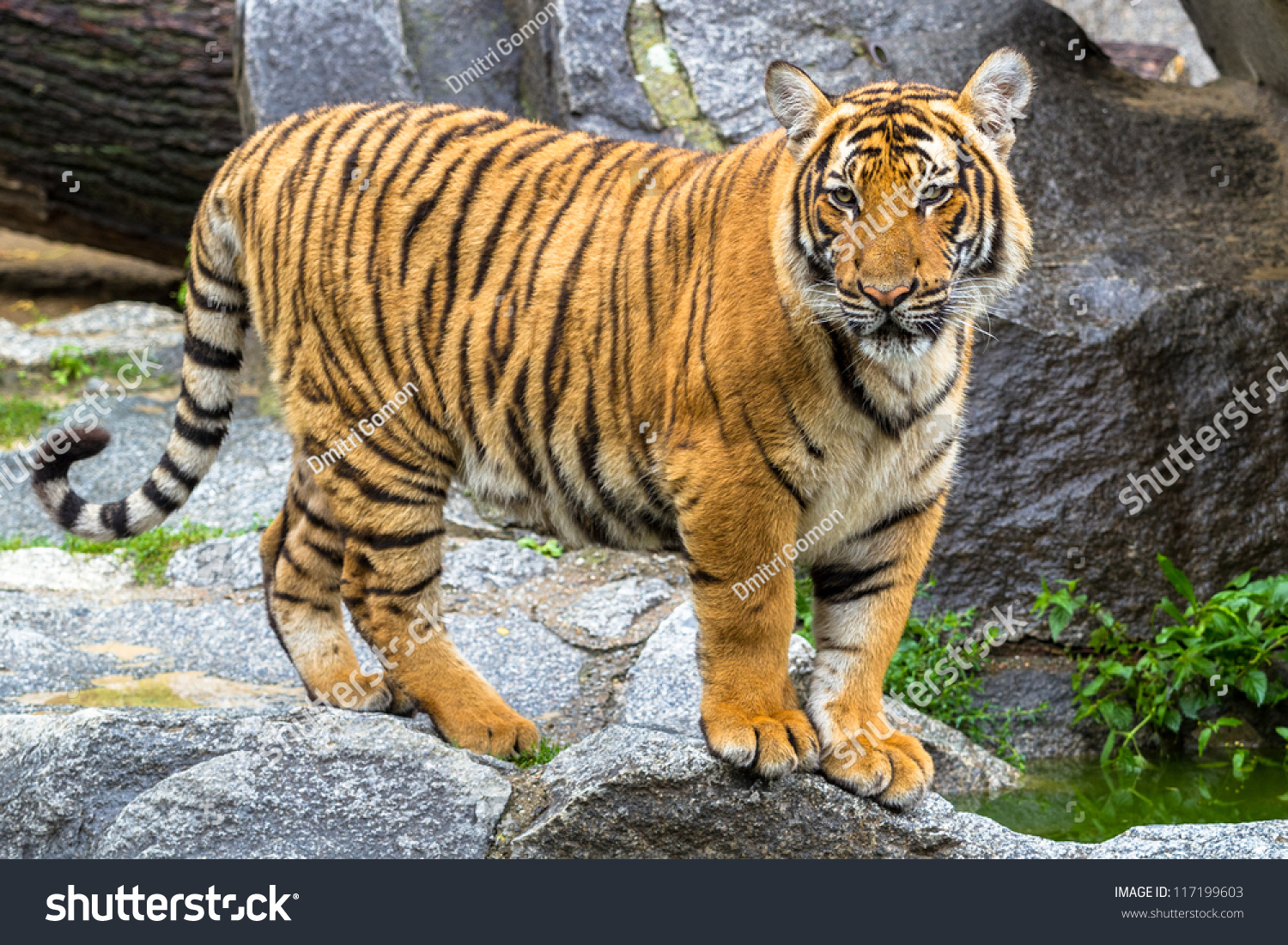 indochinese tiger cub stadning stock photo 117199603