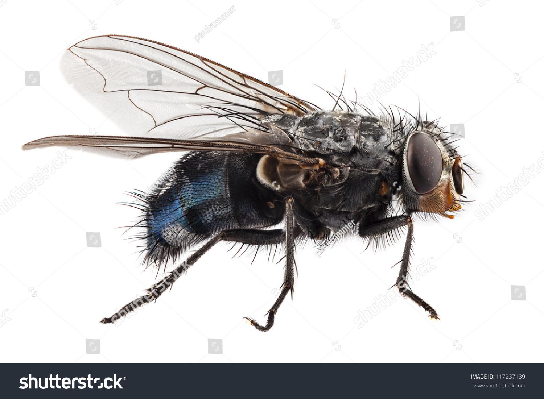 Blue Bottle Fly Species Calliphora Vomitoria Stock Photo (Edit Now ...