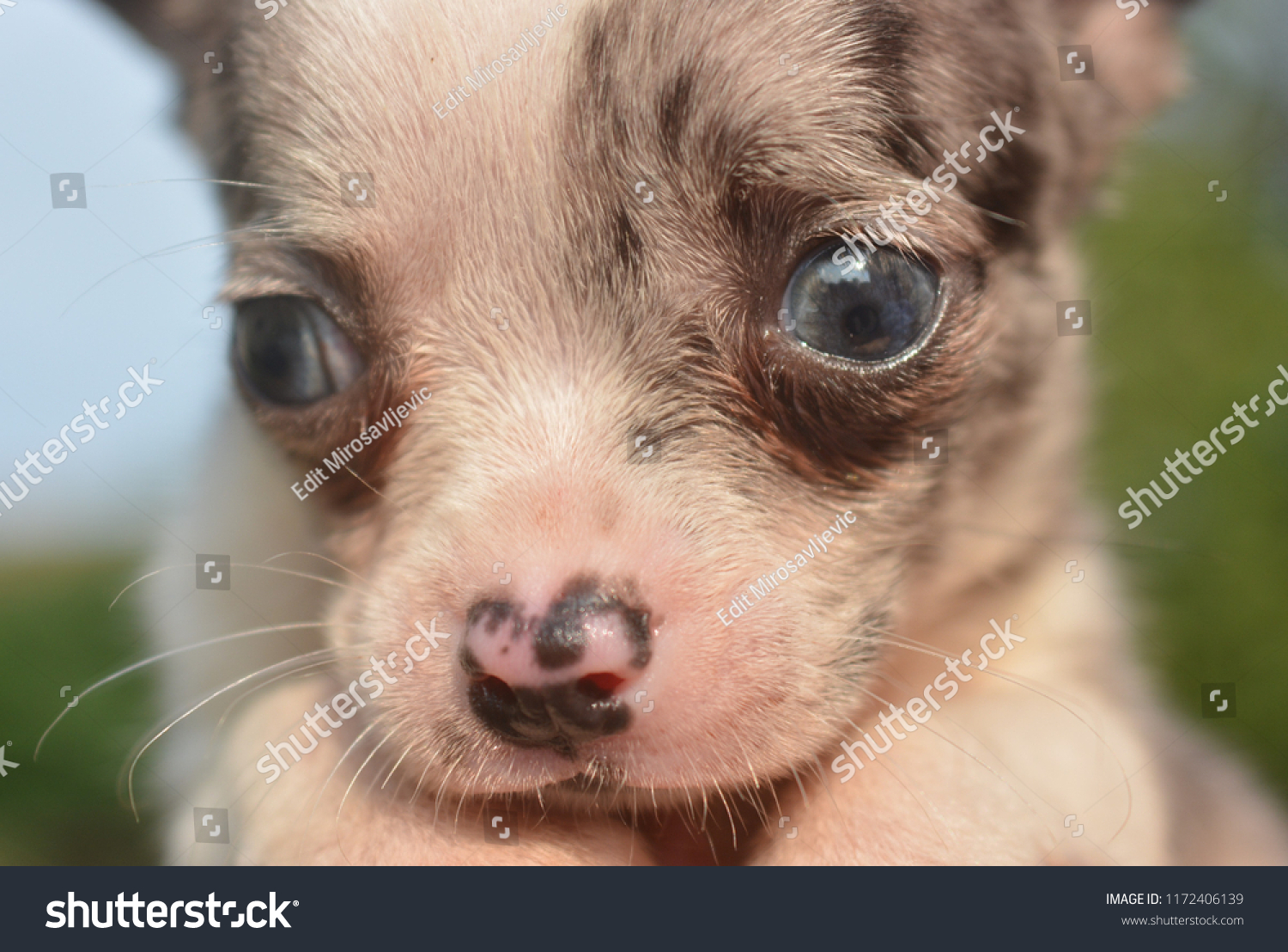 Close Merle Chihuahua Puppy Head Stock Photo Edit Now 1172406139