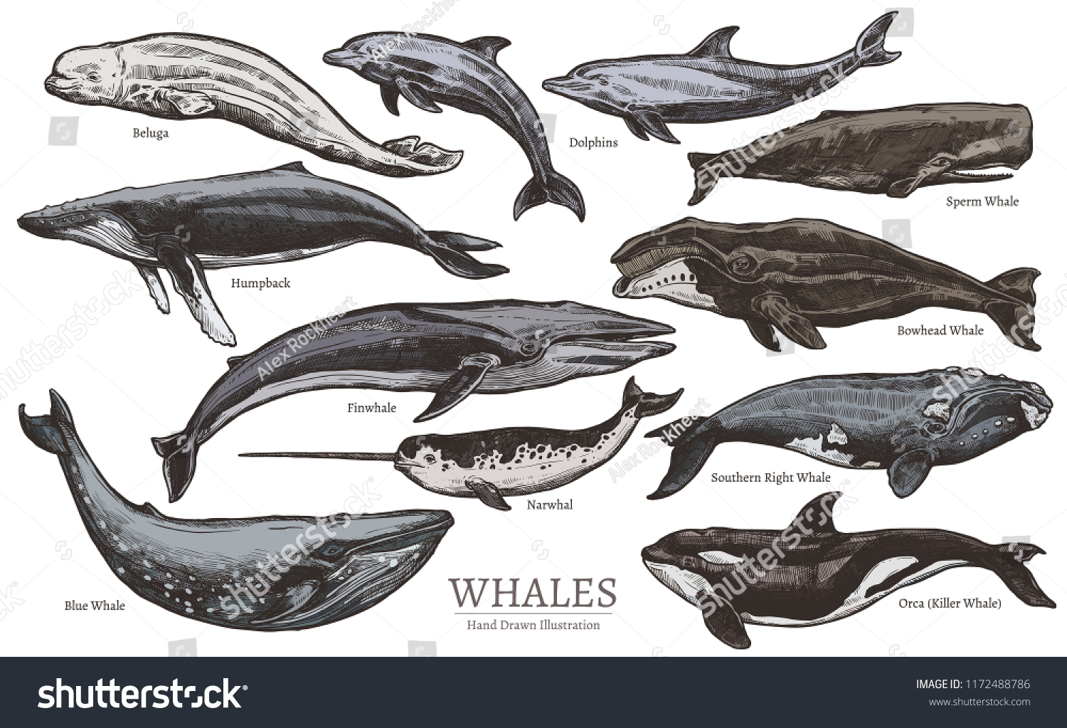 Whales Color Sketch Set Big Collection Stock Vector Royalty Free
