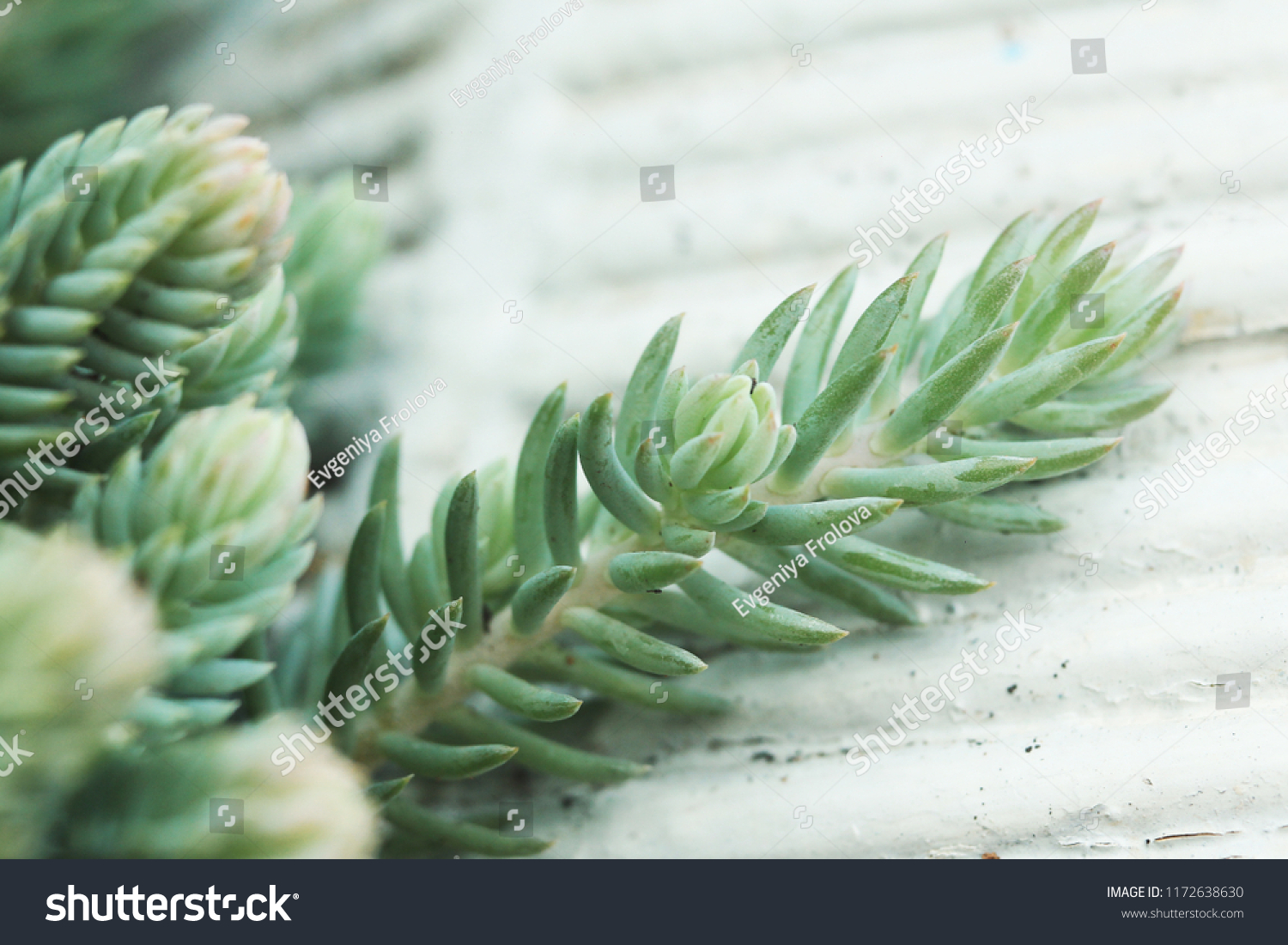 Succulents Cold Shade Stock Photo Edit Now 1172638630