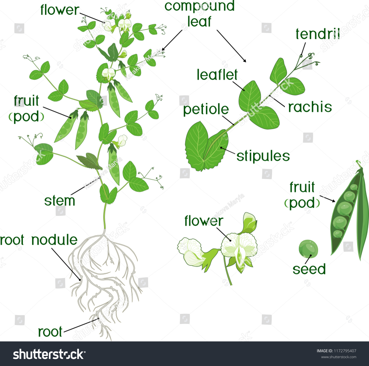 parts plant morphology pea plant fruits stock vector (royalty free Avocado Plant Diagram parts of plant morphology of pea plant with fruits, flowers, green leaves and