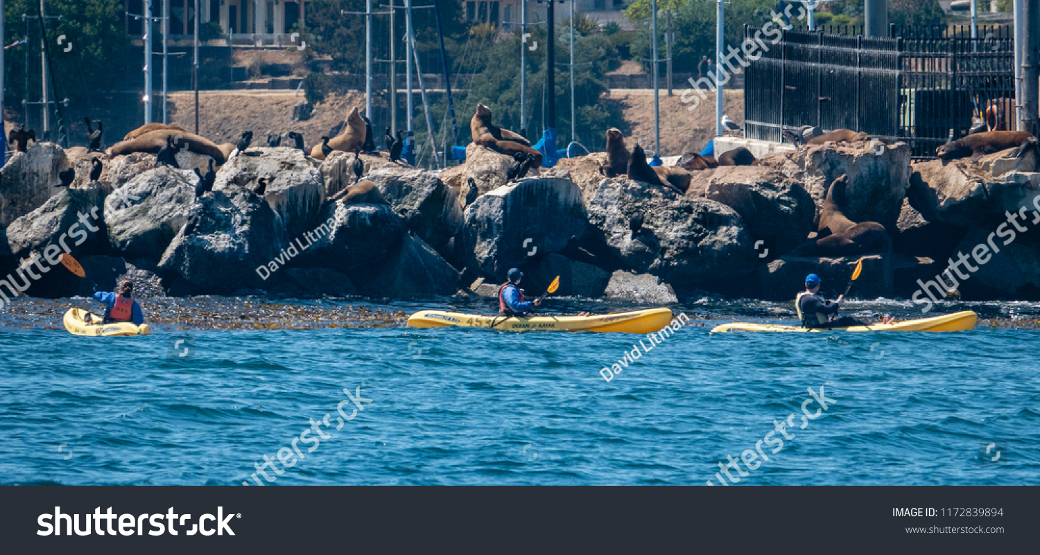 Monterey, California - August 31, 2018; Sea Lions and Cormorants rest on the breakwater of the Monterey Harbor and Marina, on the Pacific Coast of central California, as a group of kayakers paddle by.