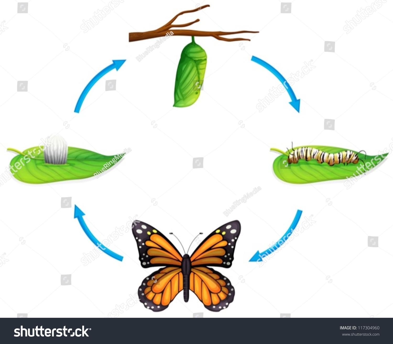 Превращение гусеницы в бабочку схема