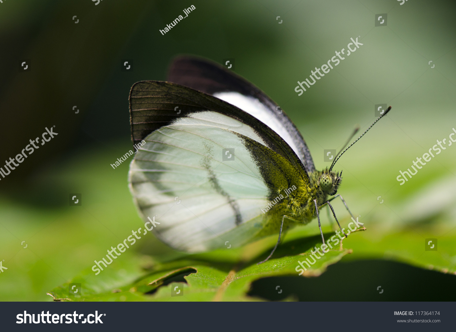 Sưu tập Bộ cánh vảy 3 - Page 3 Stock-photo-phrissura-aegis-cynis-the-forest-white-117364174