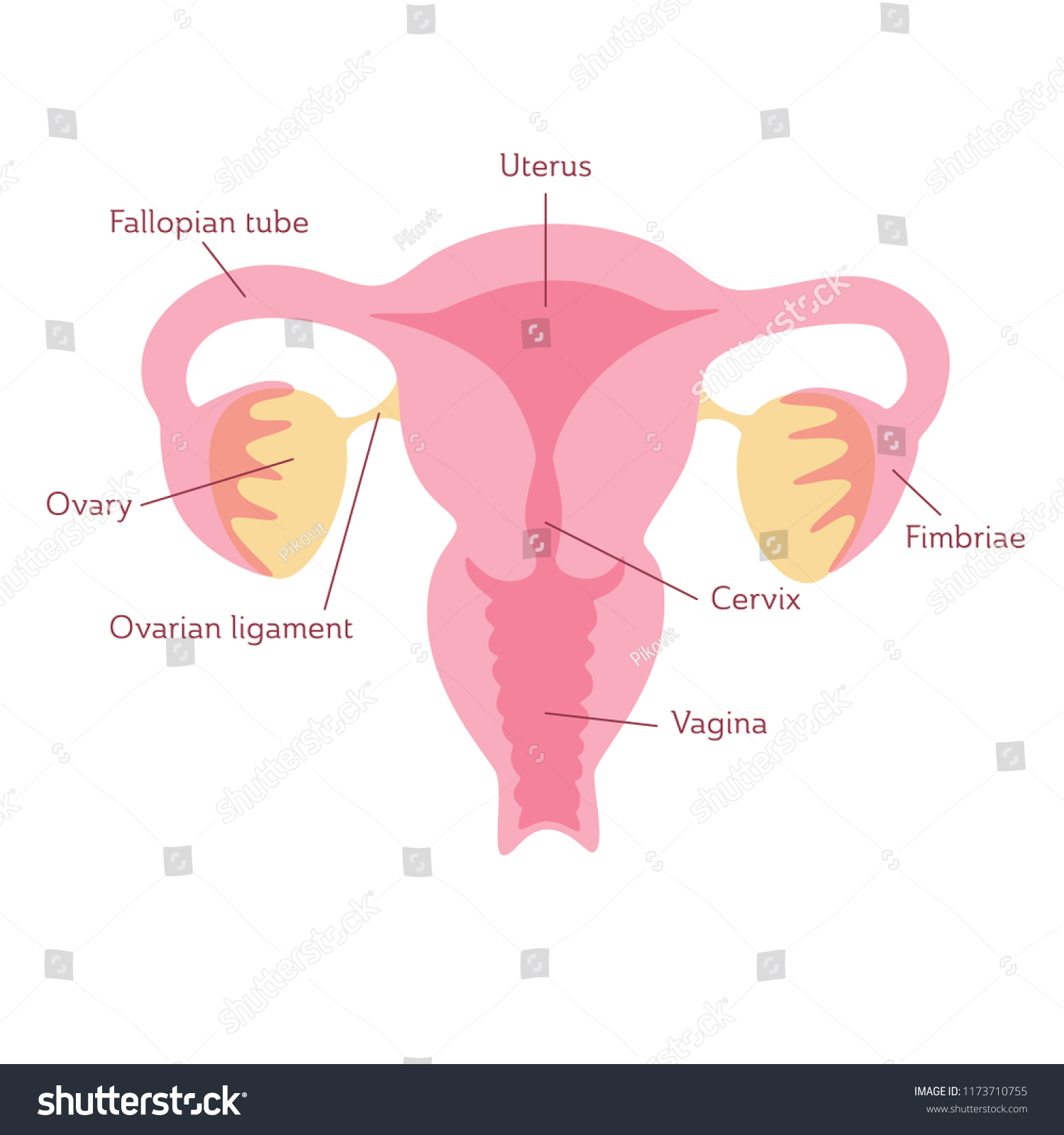 Vector Isolated Illustration Female Reproductive System Stock Vector ...