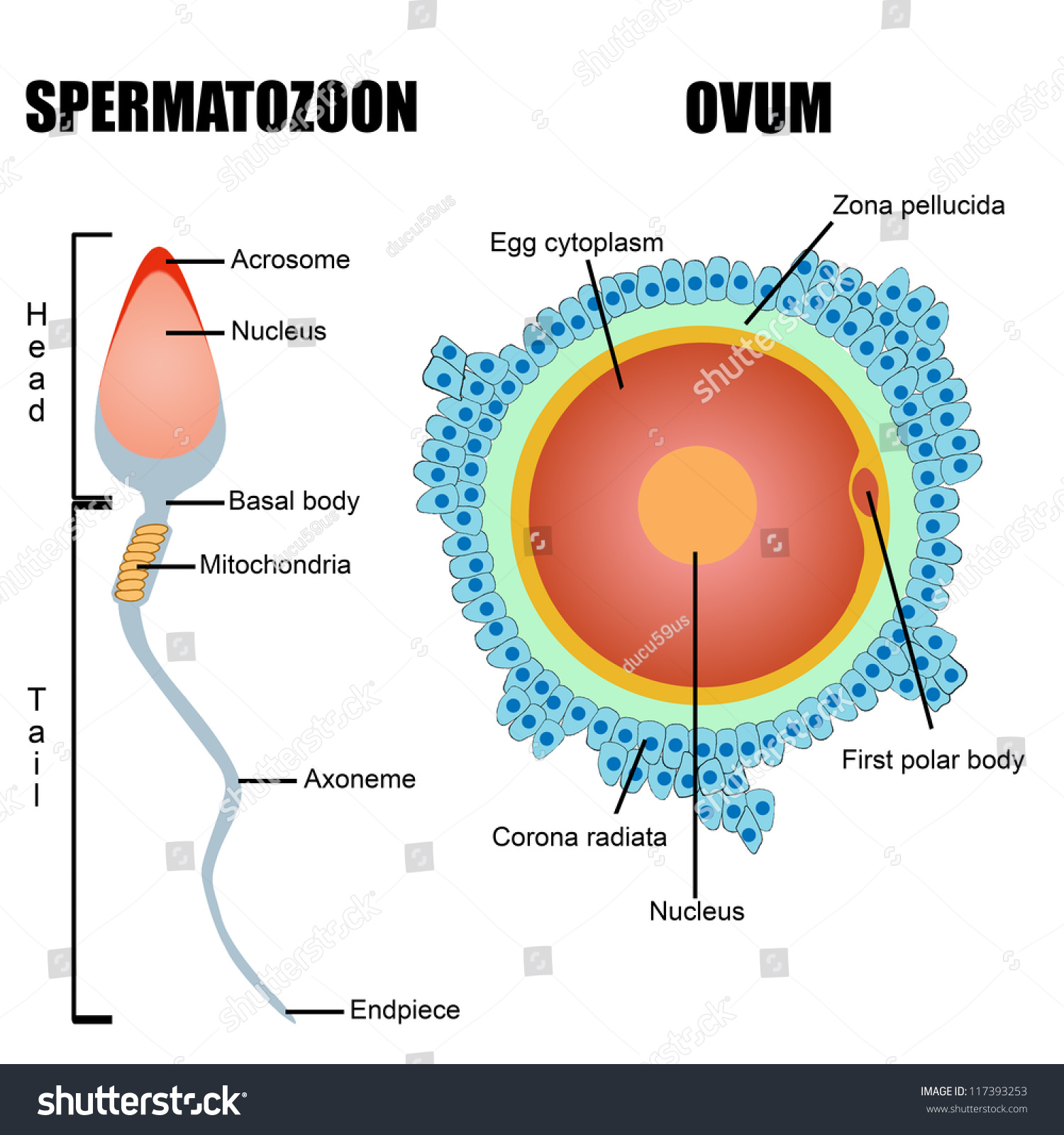 Human egg and sperm are similar