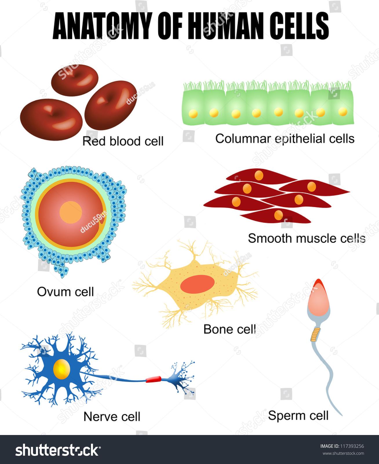Anatomy Human Cells Useful Education Schools Stock Vector Royalty