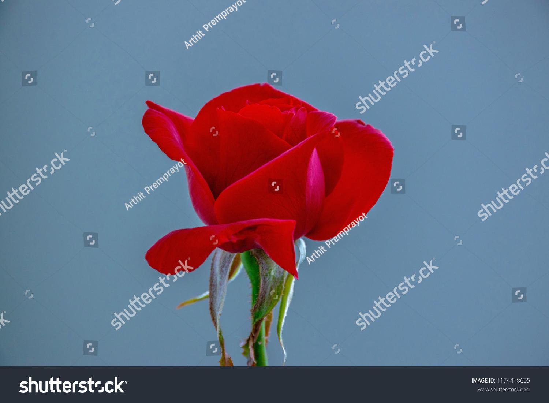 Red Rose Flower Flower Pot Flower Stock Photo Edit Now 1174418605