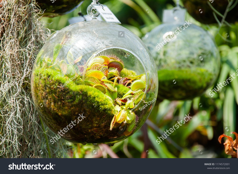 Small Garden Round Glass Terrarium Dionaea Stock Photo Edit Now 1174572001