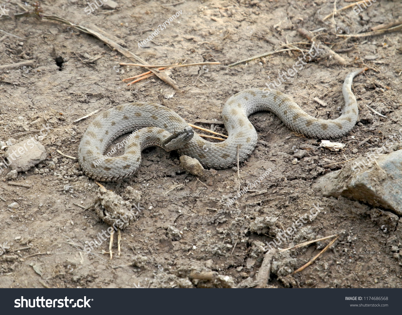 stock-photo--venomous-serpent-in-wildlif
