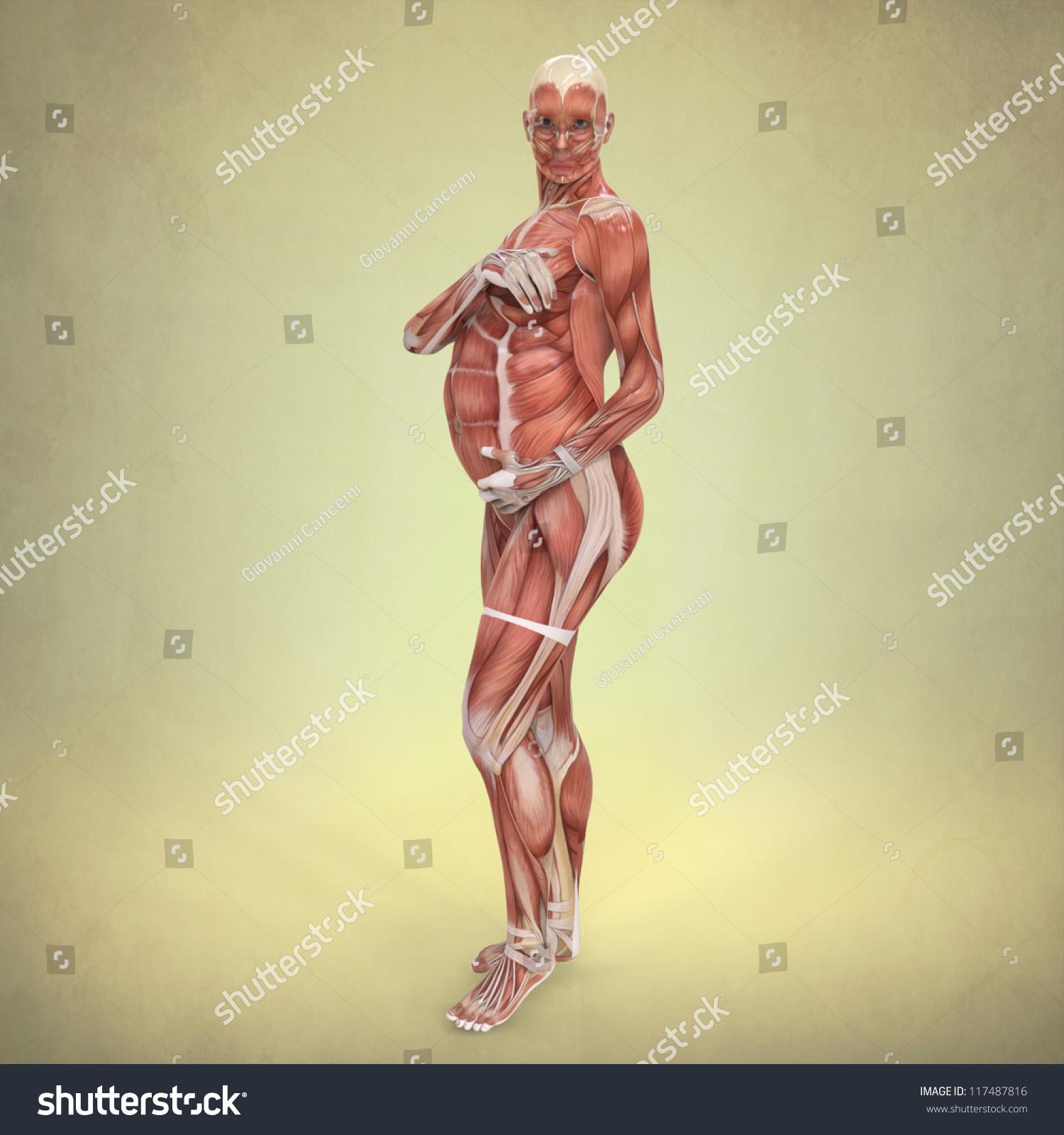 Anatomy Pregnant Woman Stock Illustration 117487816 Shutterstock
