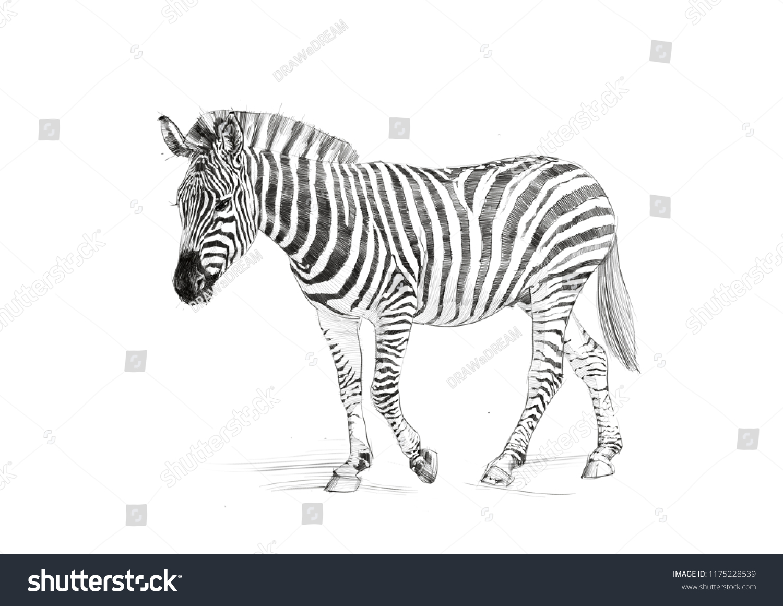 Zebra sketch pencil drawing