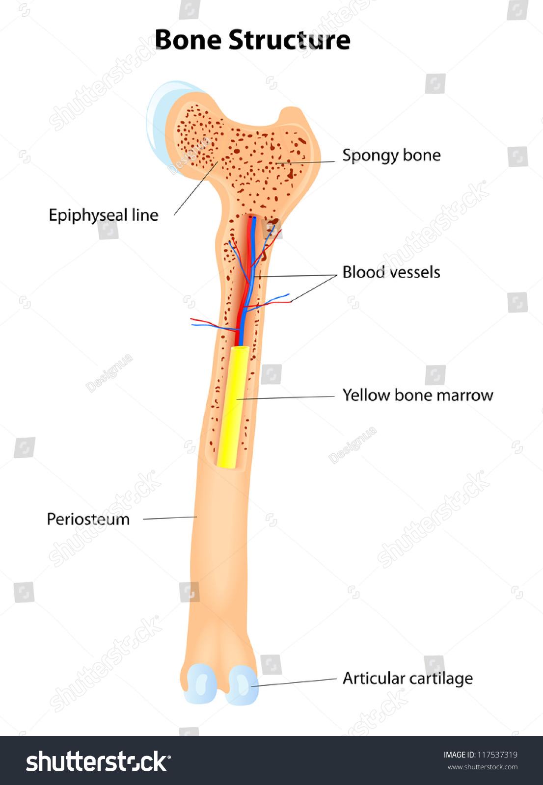 Long Bone Anatomy Vector Scheme Stock Vector 117537319