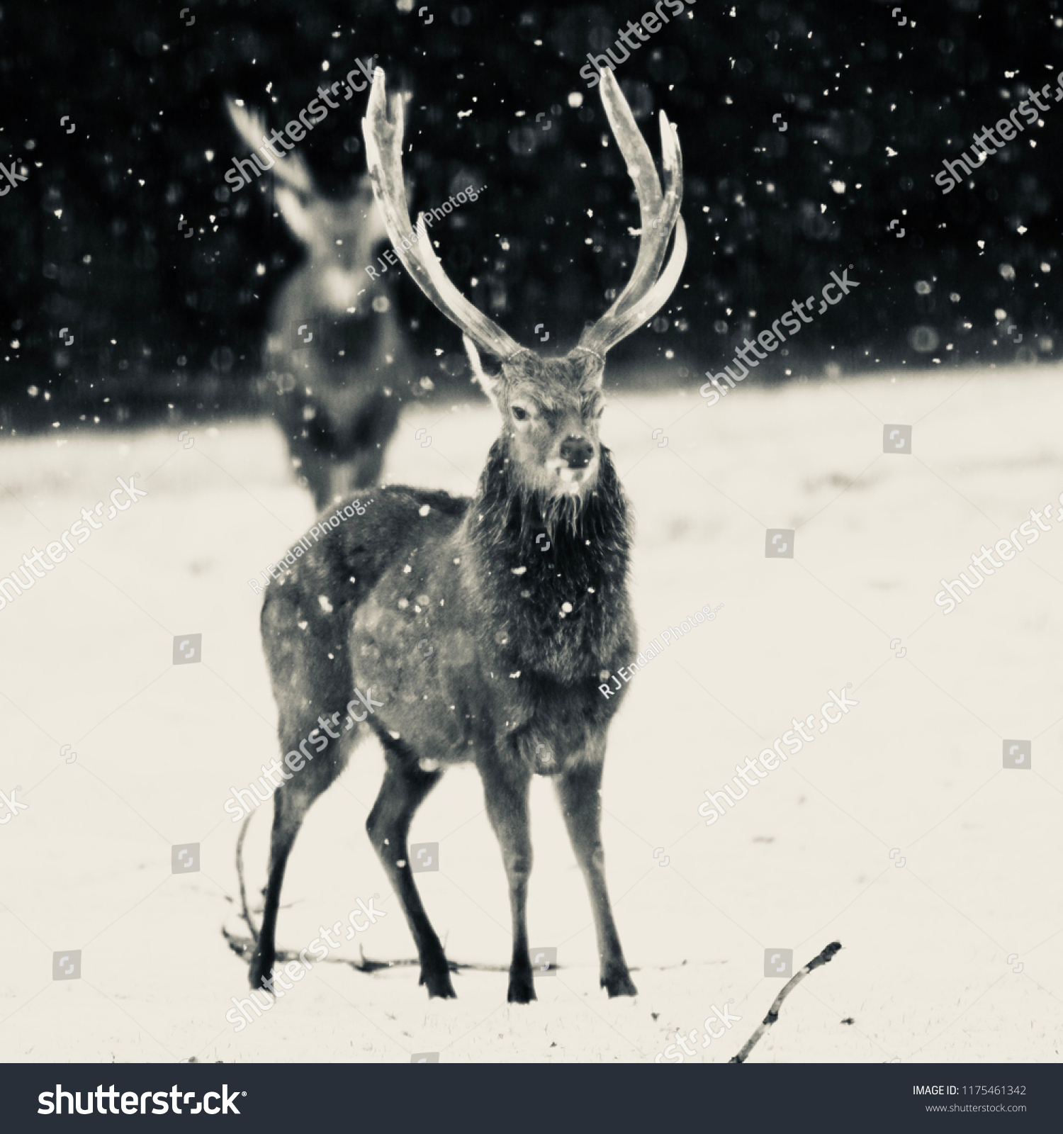 Black and white portrait of male and female deer in snow