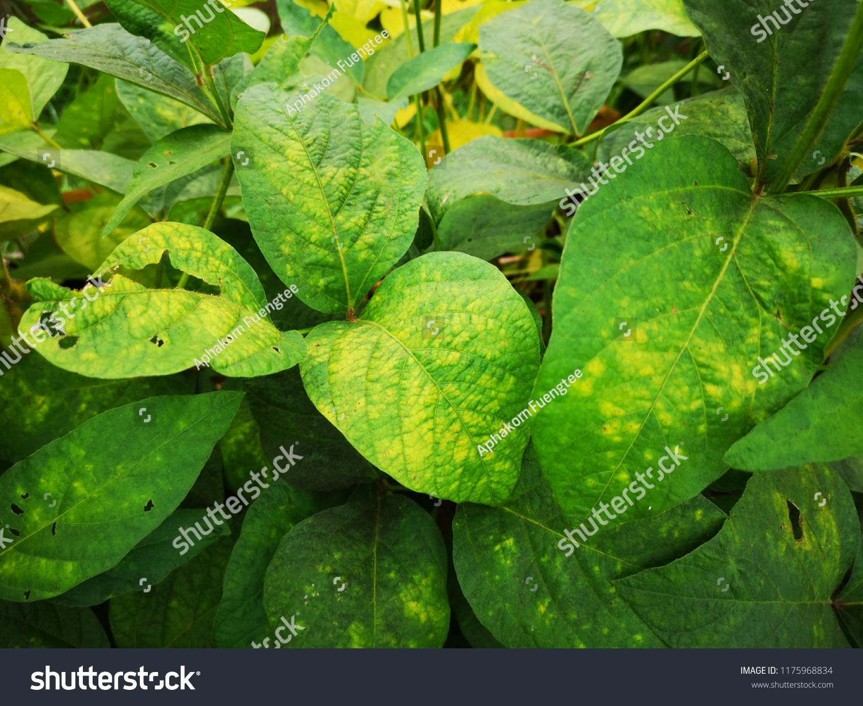 Soybean Leaf Disease Nutrient Deficiency Damage Stock Photo