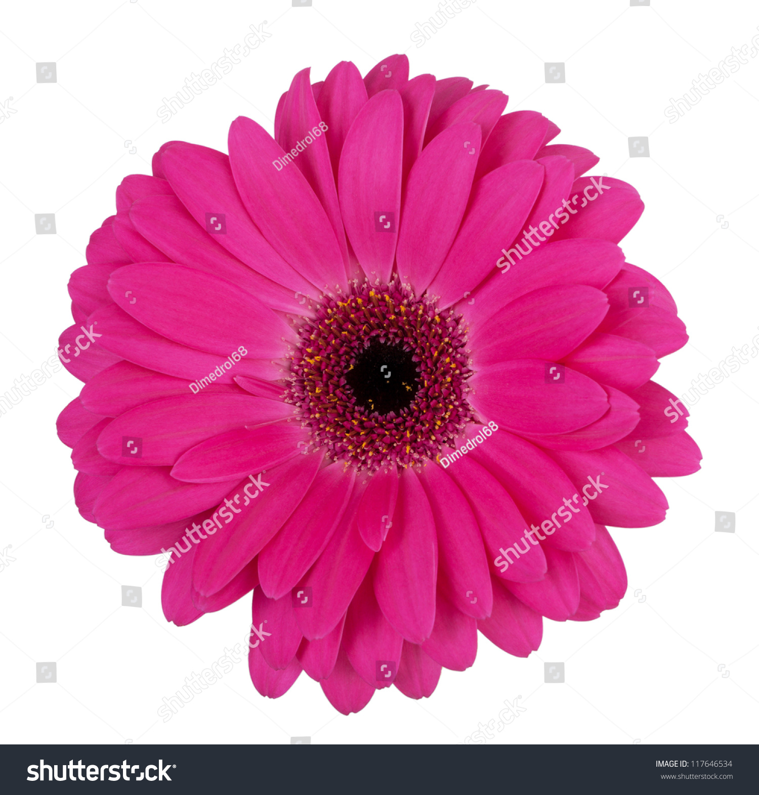 Large purple flower gerbera on a white background | EZ Canvas
