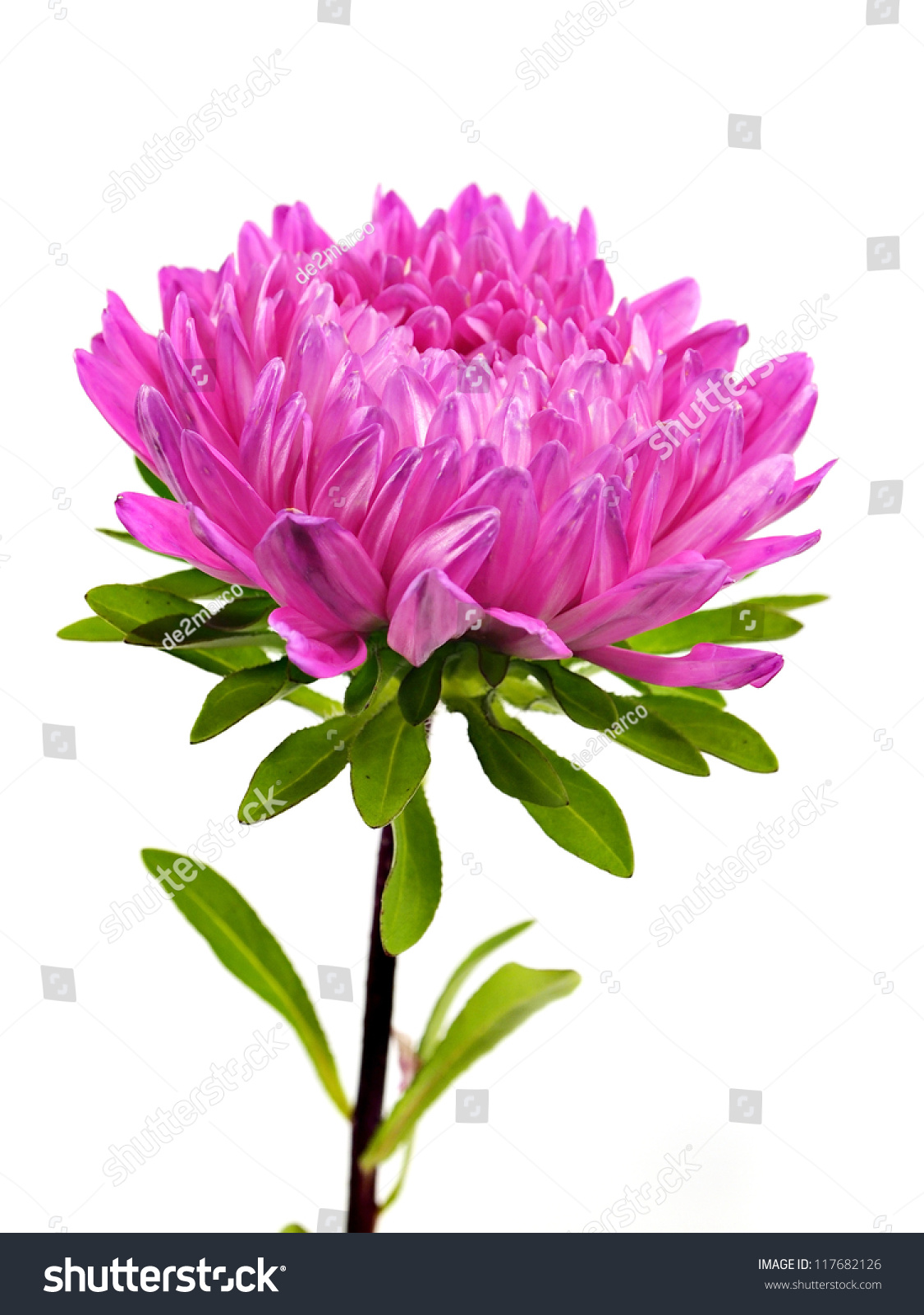 pink aster flower on white background stock photo, Beautiful flower