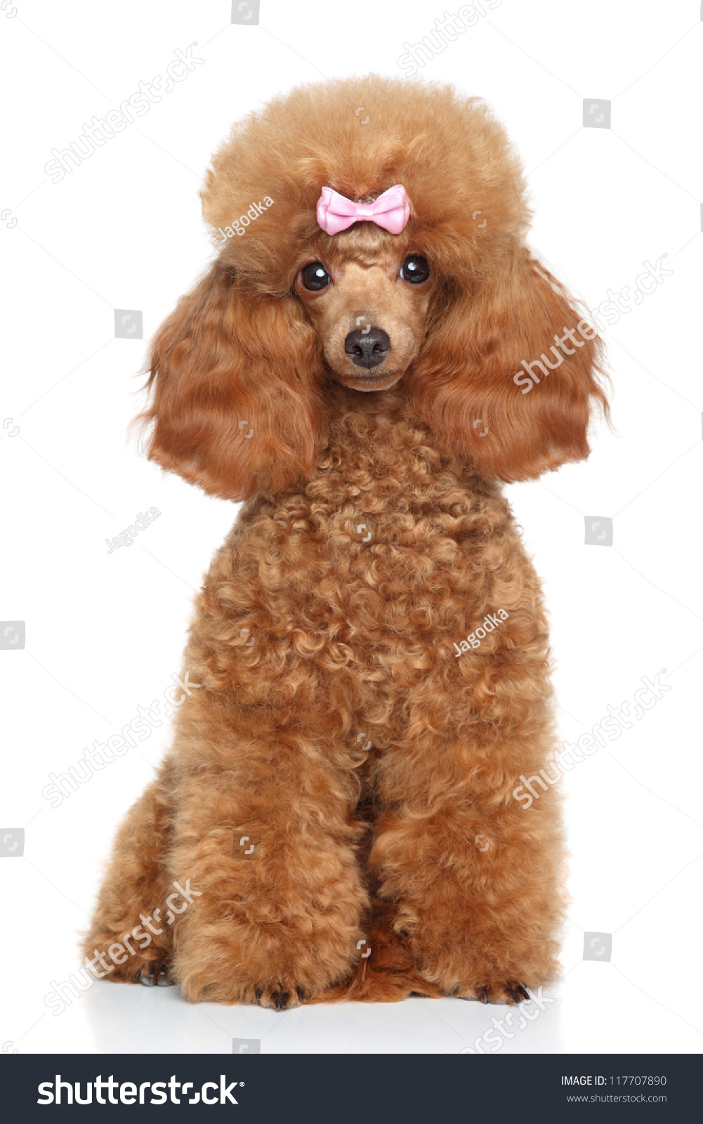Red Toy Dogs : Red toy poodle puppy sits on stock photo