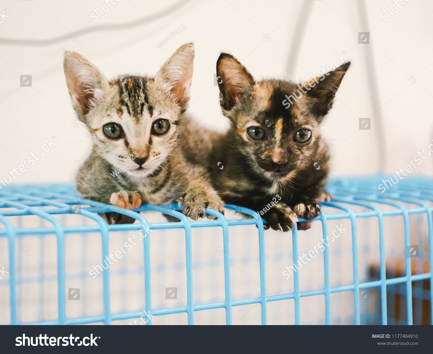Two Cute Kittens Crouching On Blue Stock Photo (Edit Now