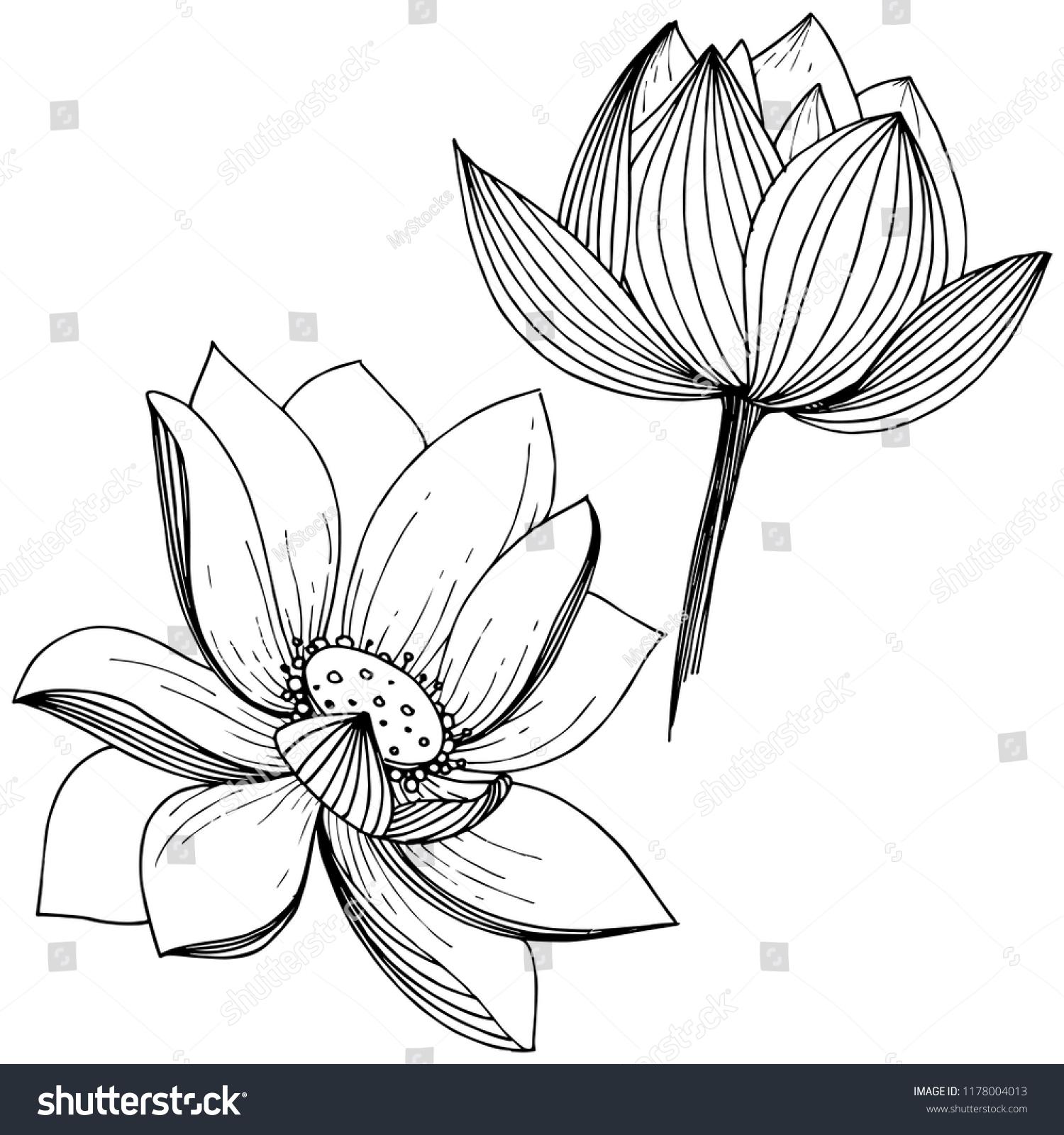 Vector Lotus Flower Floral Botanical Flower Stock Vector Royalty