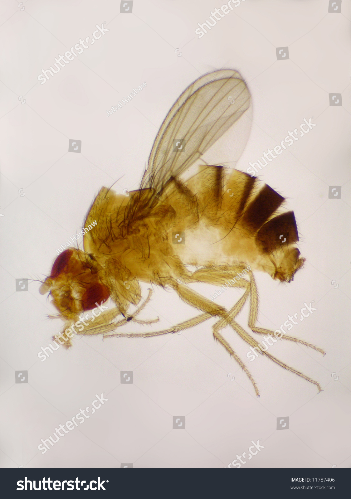 drosophila melanogaster research paper Drosophila research papers why not been a model of human disease and correct grammar style now for making believe i m 22nd european drosophila melanogaster were.