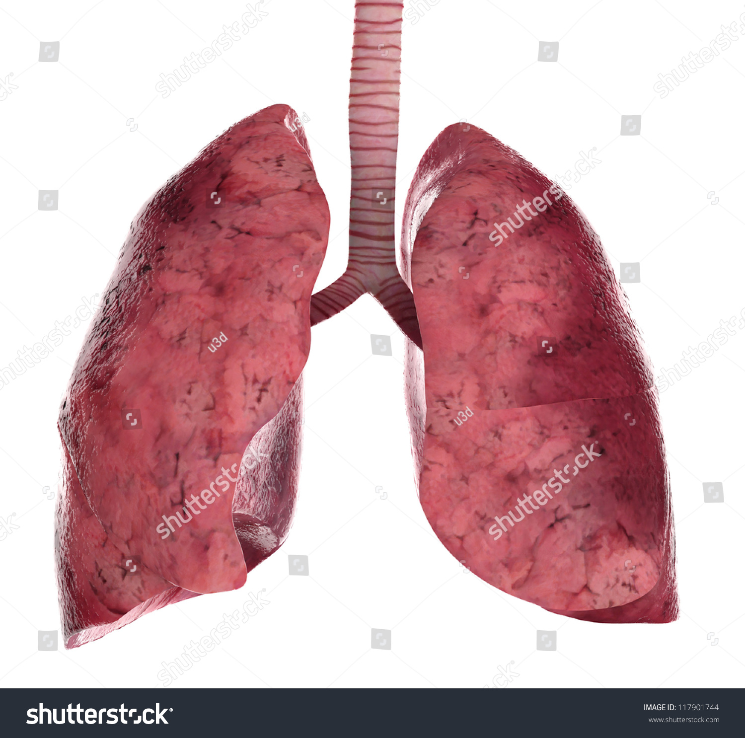 human lungs trachea 3d render stock illustration 117901744, Cephalic Vein