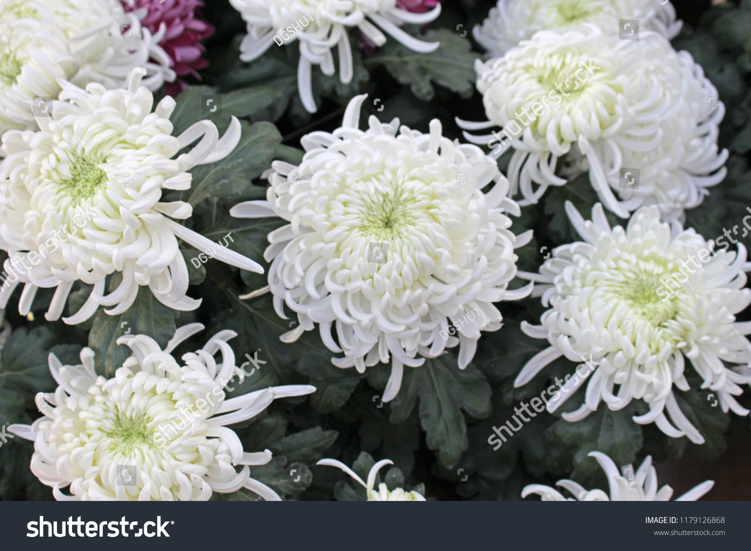 White Big Chrysanthemum Flower Ez Canvas
