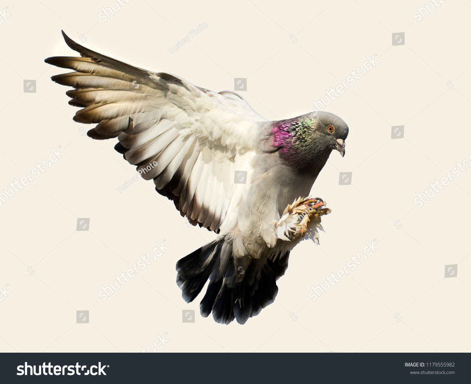 stock-photo-flying-pigeon-bird-in-action