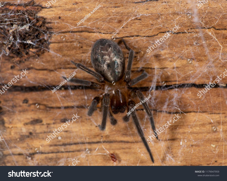 stock-photo-lace-weaver-spider-amaurobiu
