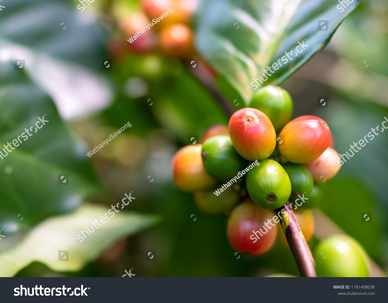 Green Coffee Beans On Coffee Tree Stock Photo Edit Now 1181408038