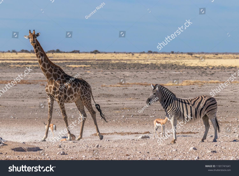 stock-photo-a-giraffe-giraffa-camelopard