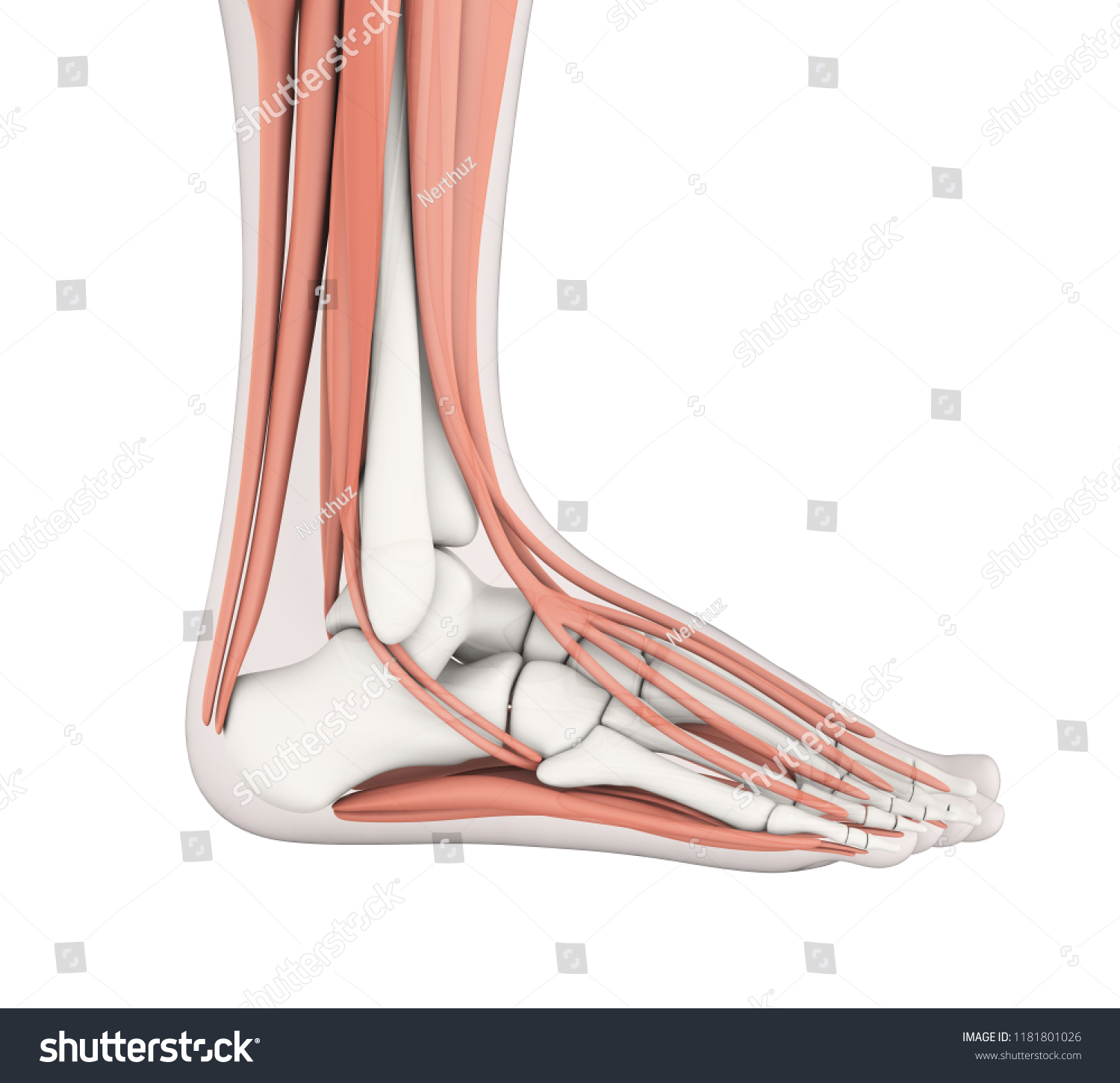 Human Foot Muscles Anatomy 3 D Rendering Stock Illustration