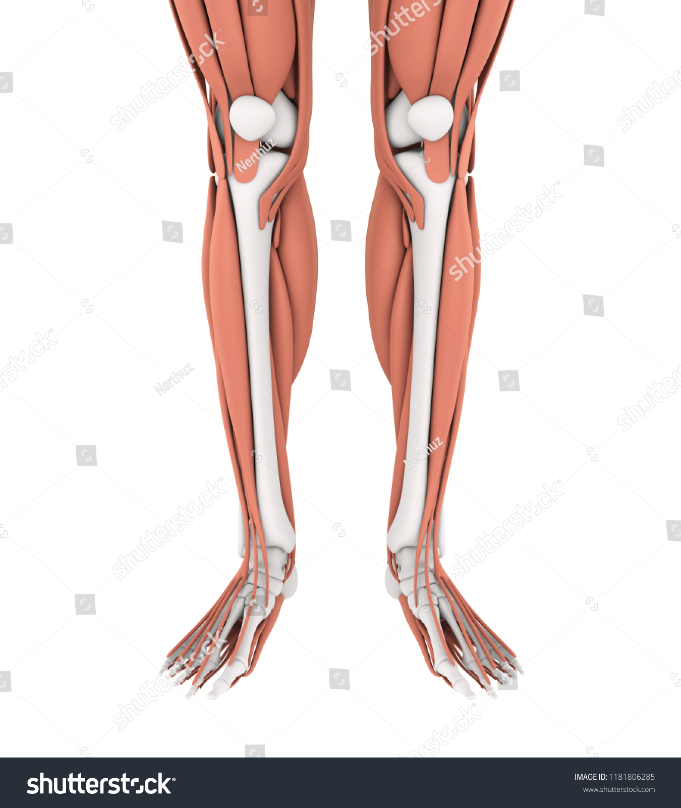 Royalty Free Stock Illustration Of Human Legs Muscles Anatomy 3 D