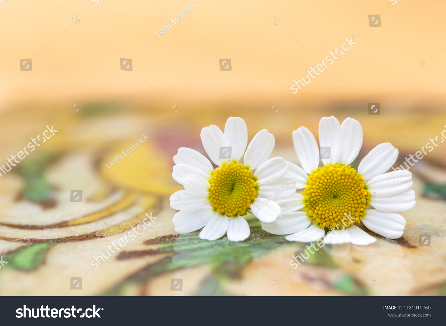 stock-photo-feverfew-flowers-close-up-de