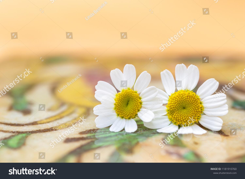 stock-photo-feverfew-flowers-close-up-de