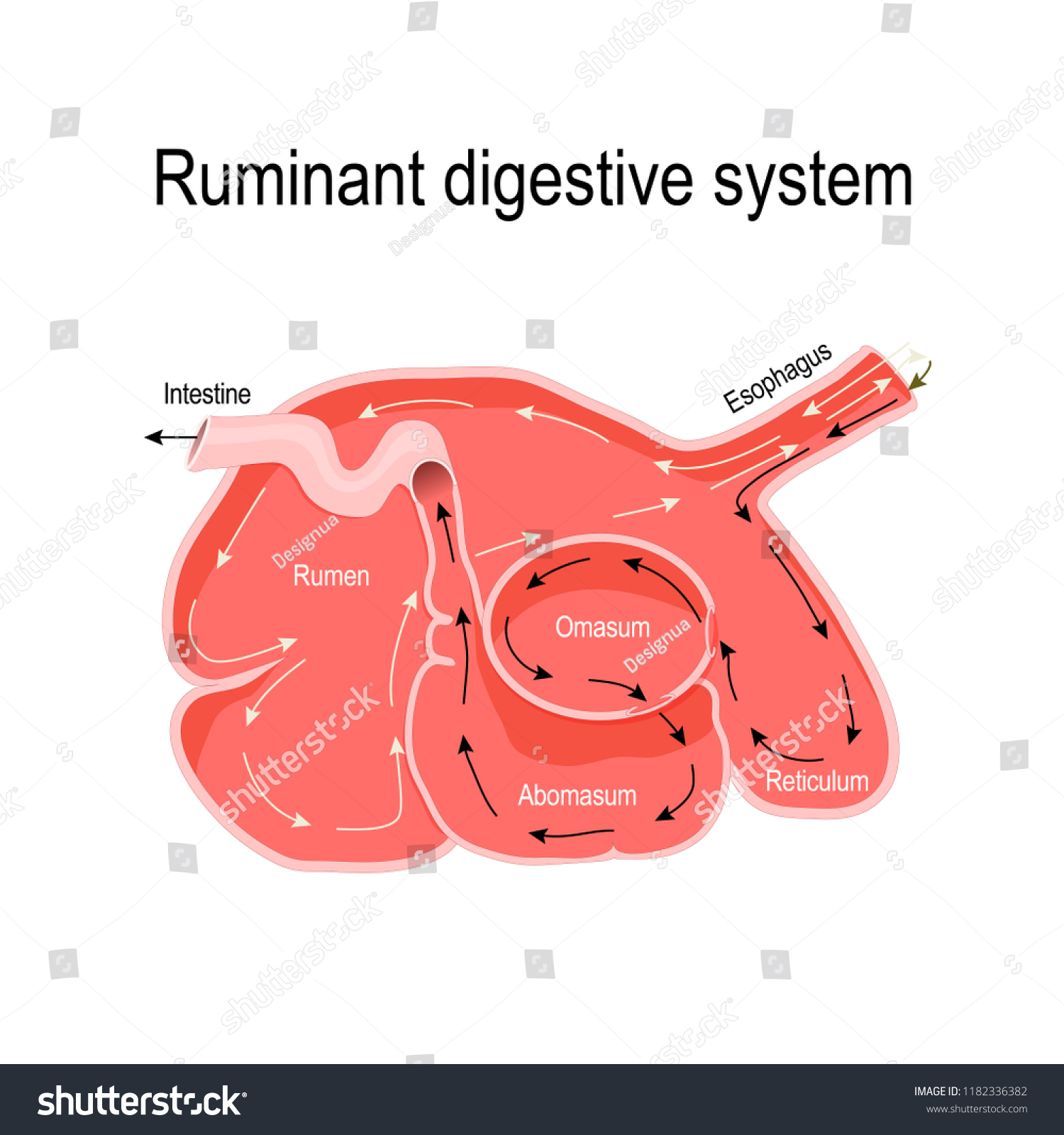 Ruminant Digestive System Crosssection Ruminant Stomach Stock Vector