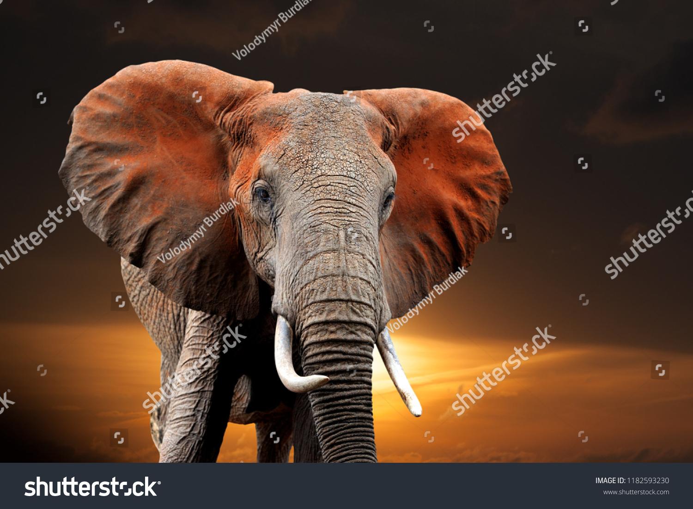 Elephant on sunset in National park of Kenya, Africa #1182593230