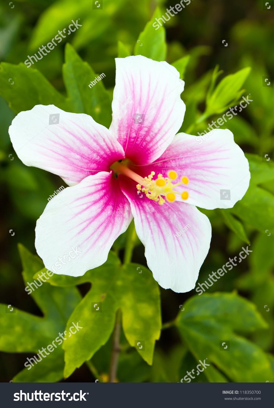 Pink White Hibiscus Flower Garden Stock Photo Edit Now 118350700
