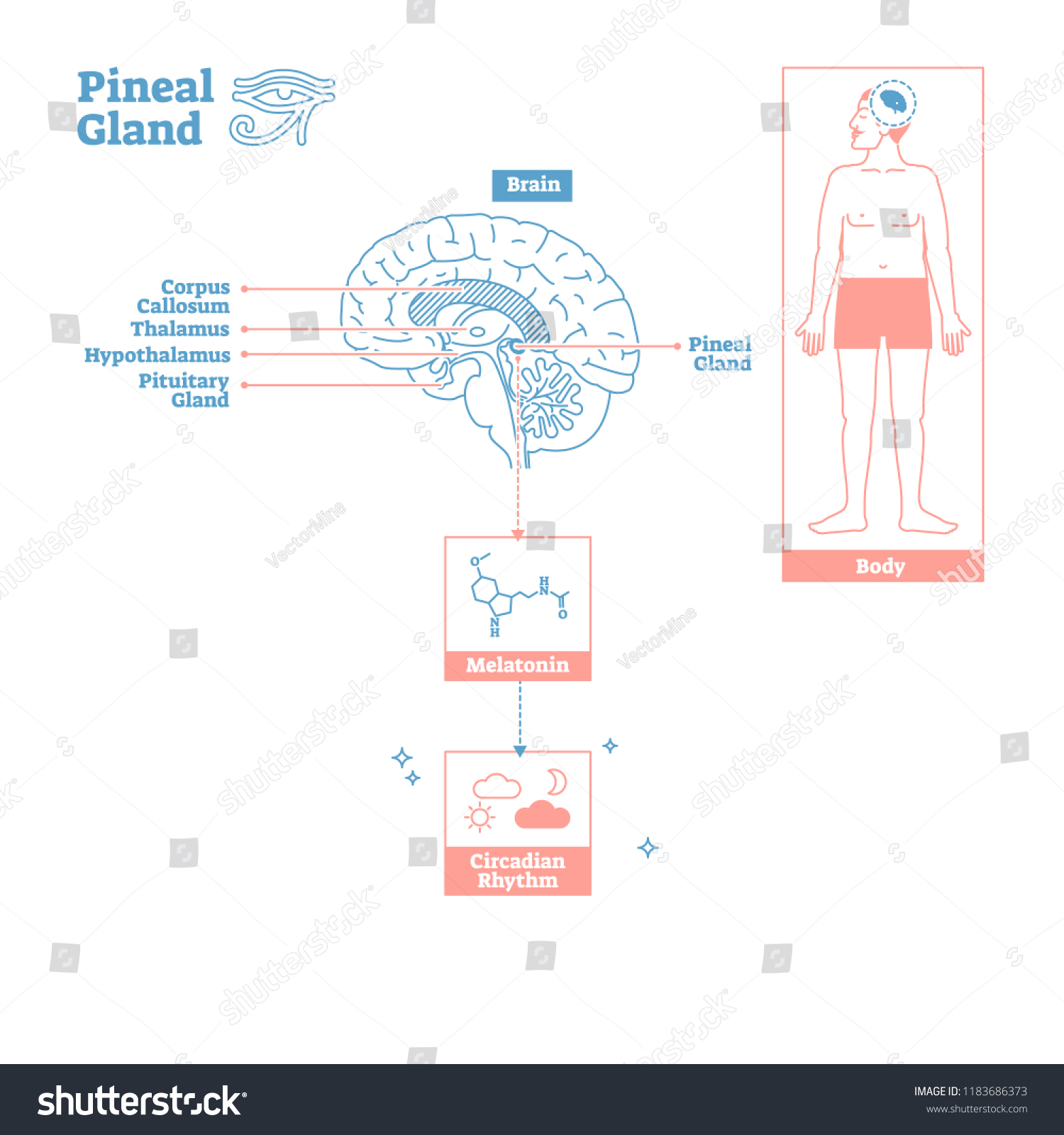 Pineal Gland Endocrine System Medical Science Vector Stock Vector