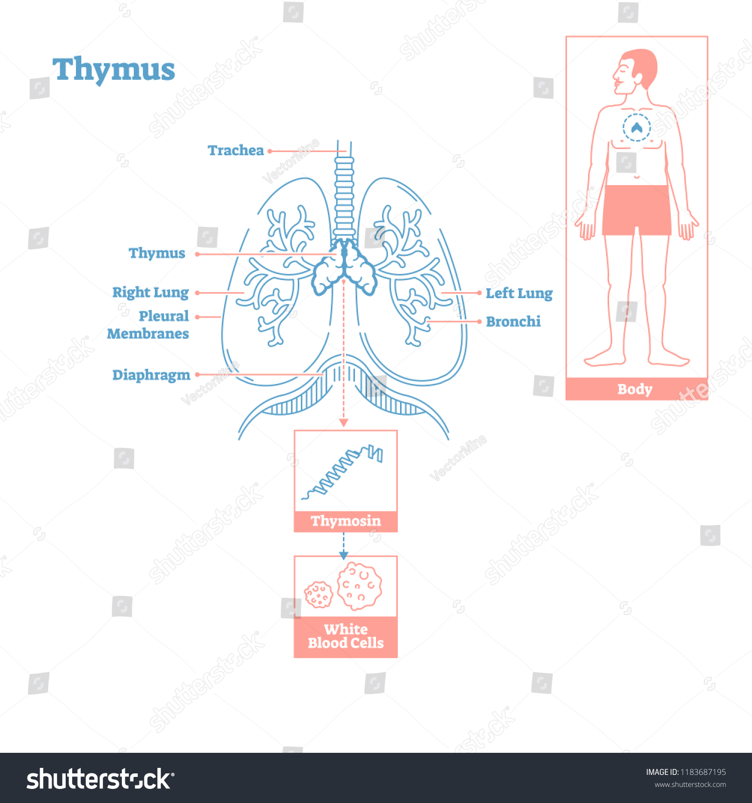 Thymus Gland Endocrine System Medical Science Vector Stock Vector