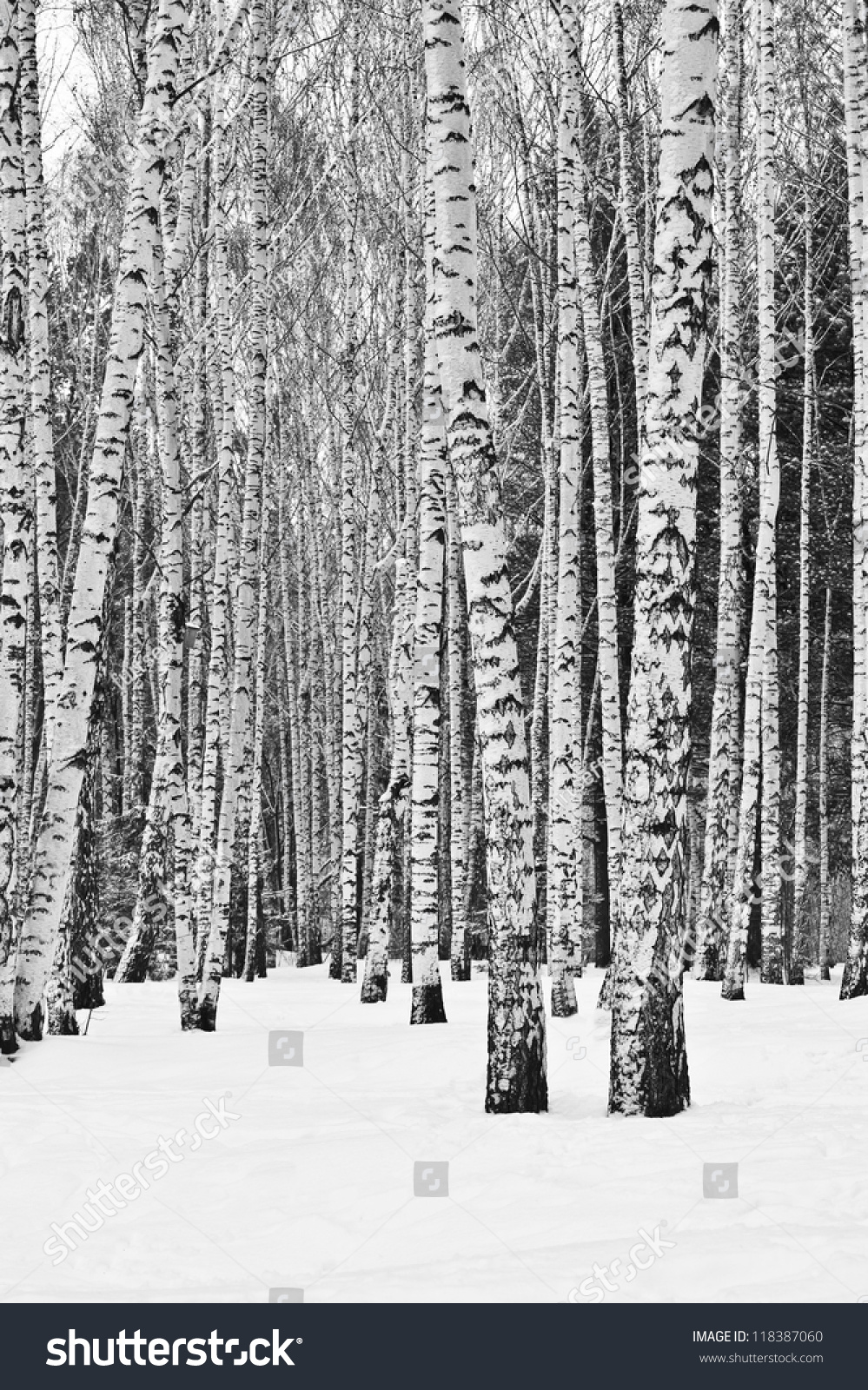 black and white snowy trees wwwpixsharkcom images
