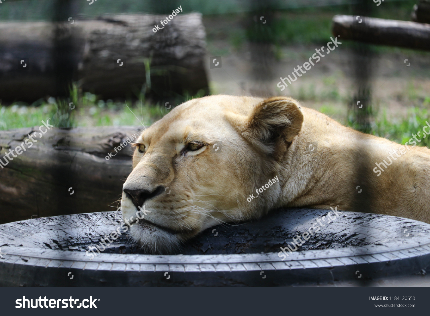 The lion is resting. Zoo of Lake Palic, Serbia, September 2, 2018