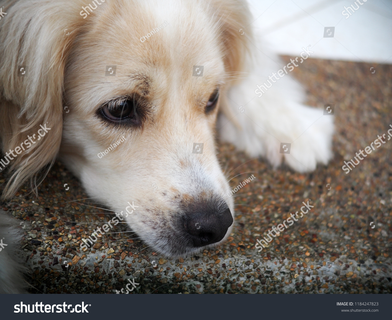 Lonesome lonely sad white cute fat long hair crossbred handsome dog portraits looks like golden retriever