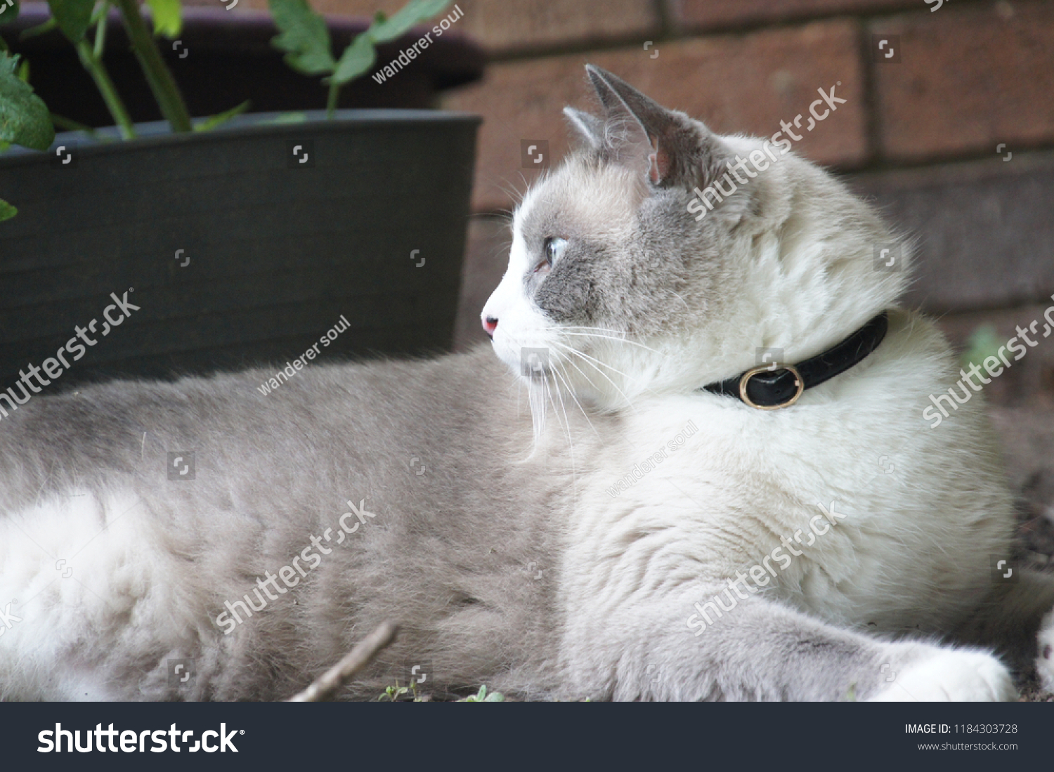 stock-photo-tintin-my-snowshoe-cat-1184303728.jpg